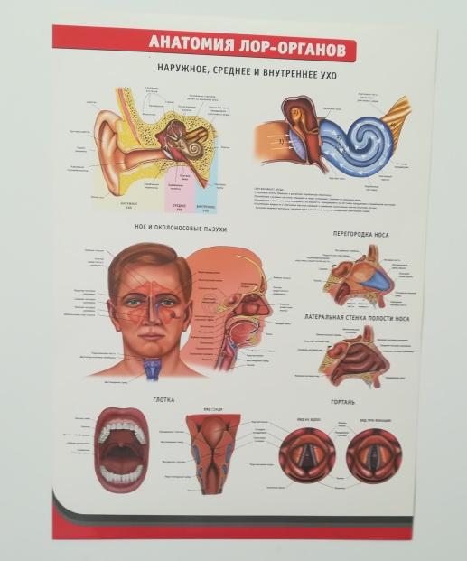 Лор органы анатомия в картинках